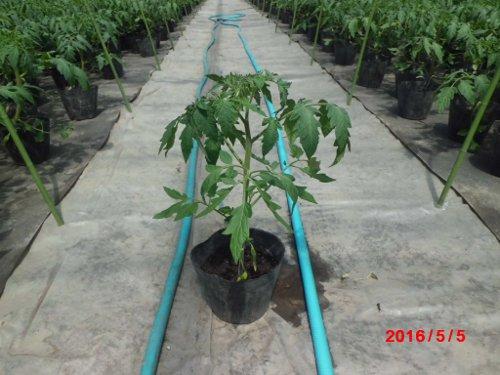 3月2日播種の麗果、台木は、レシーブ