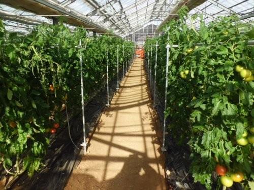 イシグロ農材試験農場 トマト栽培