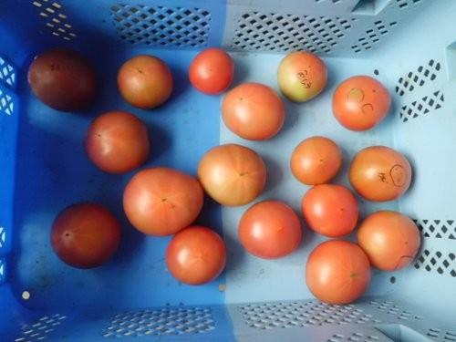 僕の選果はじき出しトマト