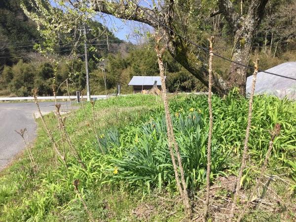 庭先のタラの芽