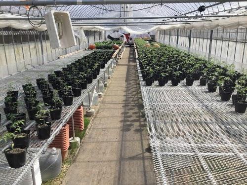 温室の中も、苗を広げ始めています・・直ぐに満杯になりますね