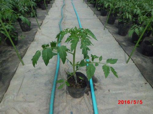 3月2日播種の麗果、台木は、がんばる根
