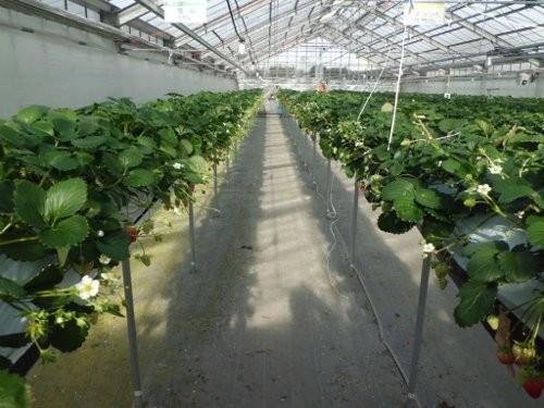 イシグロ農材試験農場 イチゴ
