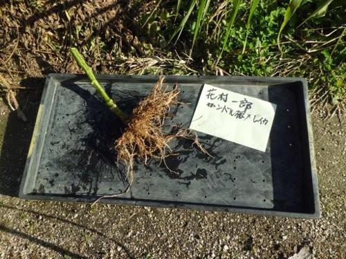 掘り出した、根のサンプル