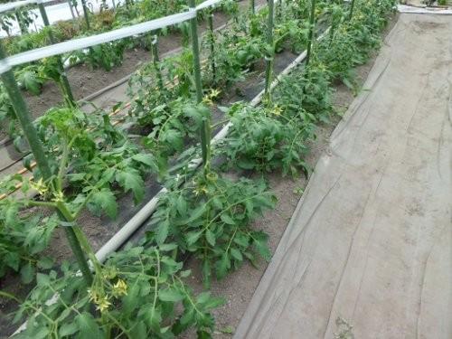 石川トマト、桃太郎の様子