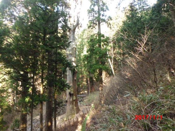 弁慶杉全景