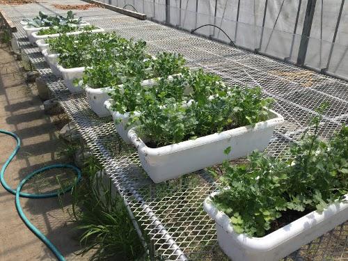 温室にて、パクチーのプランター栽培試験の様子