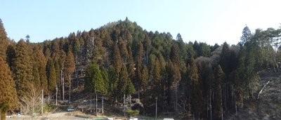 愛宕山全景、下部が間伐した林