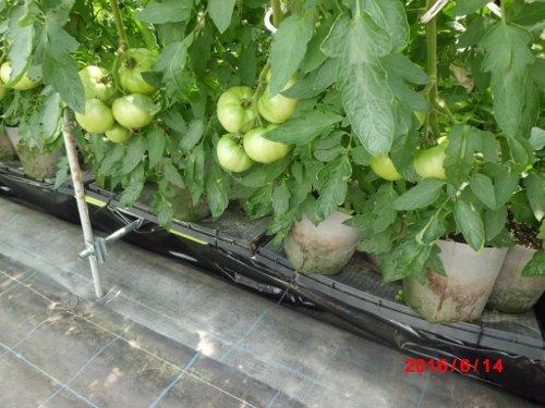 研究所のトマトは、よくできるんですよねえ・・・