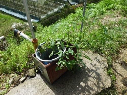 捨てた実から生えてきたトマト、トマトは本来、強い植物です