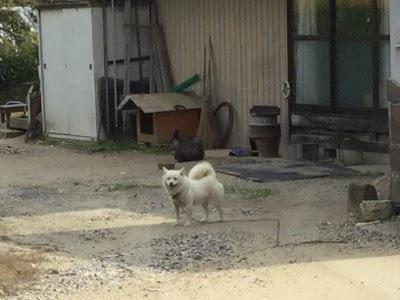 庭先でうずくまる、カモシカと、犬・・・