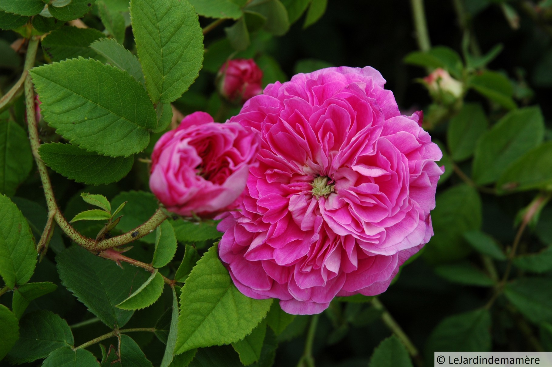 Fleur de Pelletier