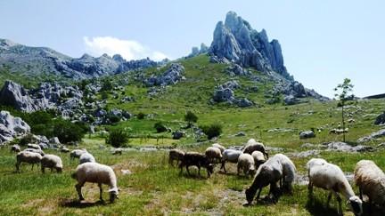 ...mit Schafe von Miele...