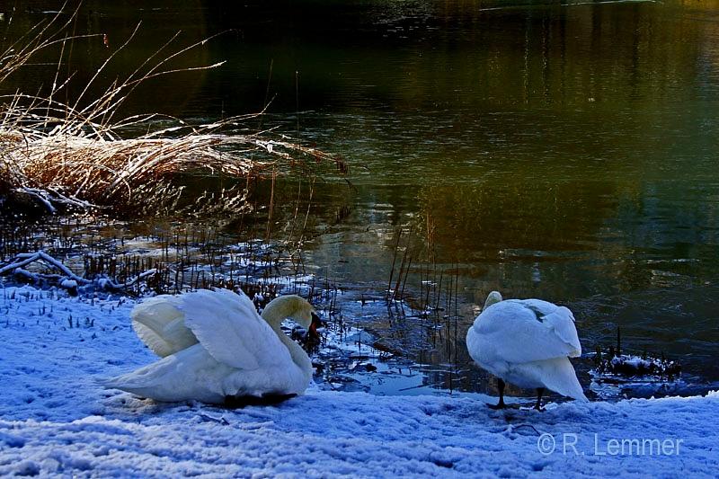 Schwäne am Giessenparksee
