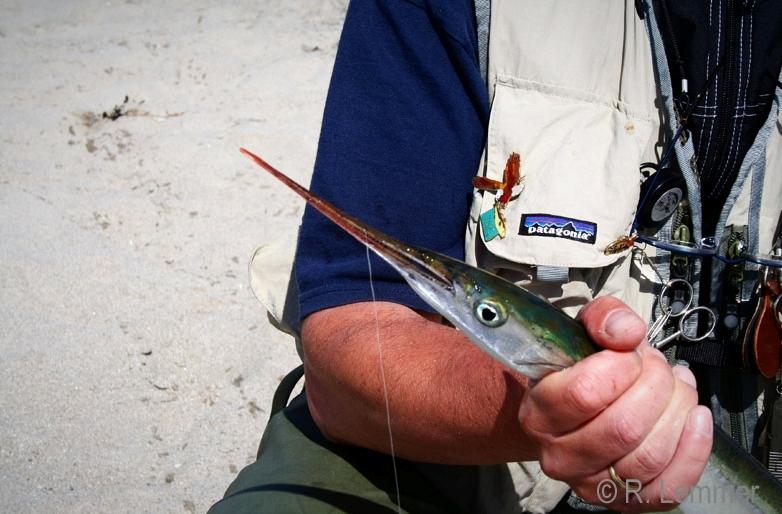 Hornhecht auf Fischfetzen