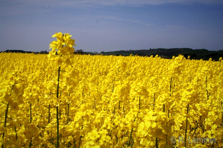 Blühende, duftende Rapsfelder bei Møns Fyr