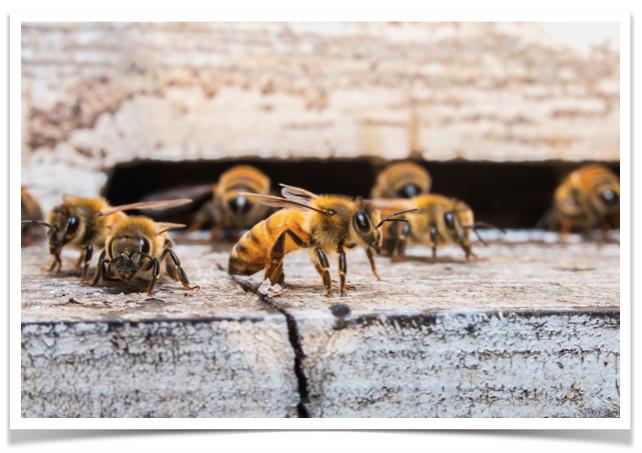 PURGERS Wächterbienen