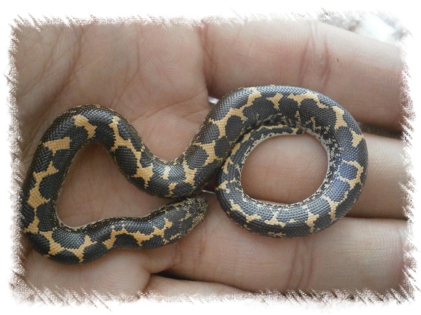 Eryx colubrinus - Artroposfera: Tienda online de material para ...