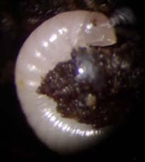 Ultima fase larvaria