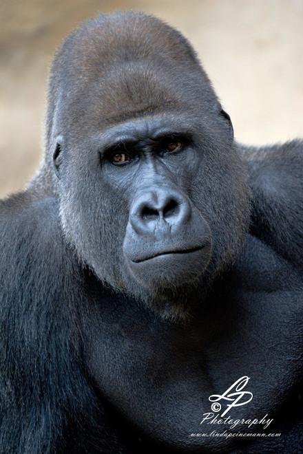 Gorillas - Silverback