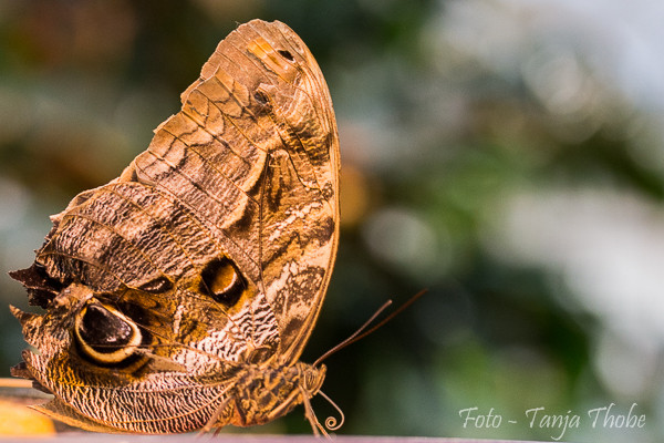 Makrofotografie - Schmetterlingshaus Bremen - Nov.2014 - Bild/Tanja Thobe