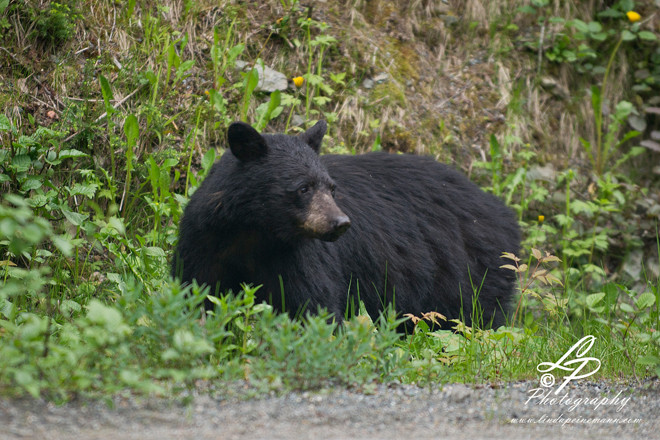 ALASKA 2012 - Brown Bear