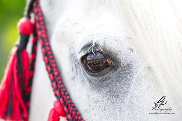 """Hunde & Pferdefotografie für Anfänger/innen - Pferdemuseum Verden Mai 2014 - """"Araberstute Ashia"""""""
