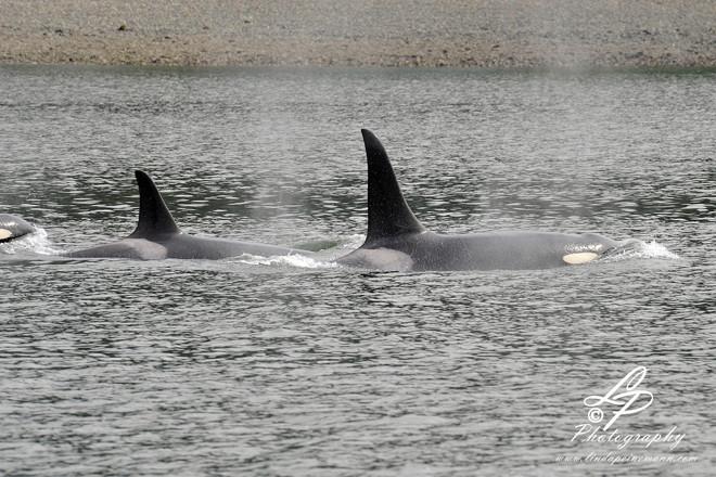 ALASKA 2012 - Orcas