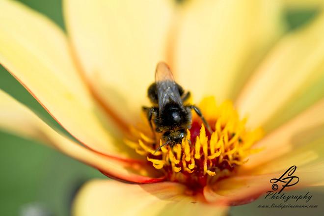 Sie erhalten den Kreislauf der Natur - Hummel und Bienen