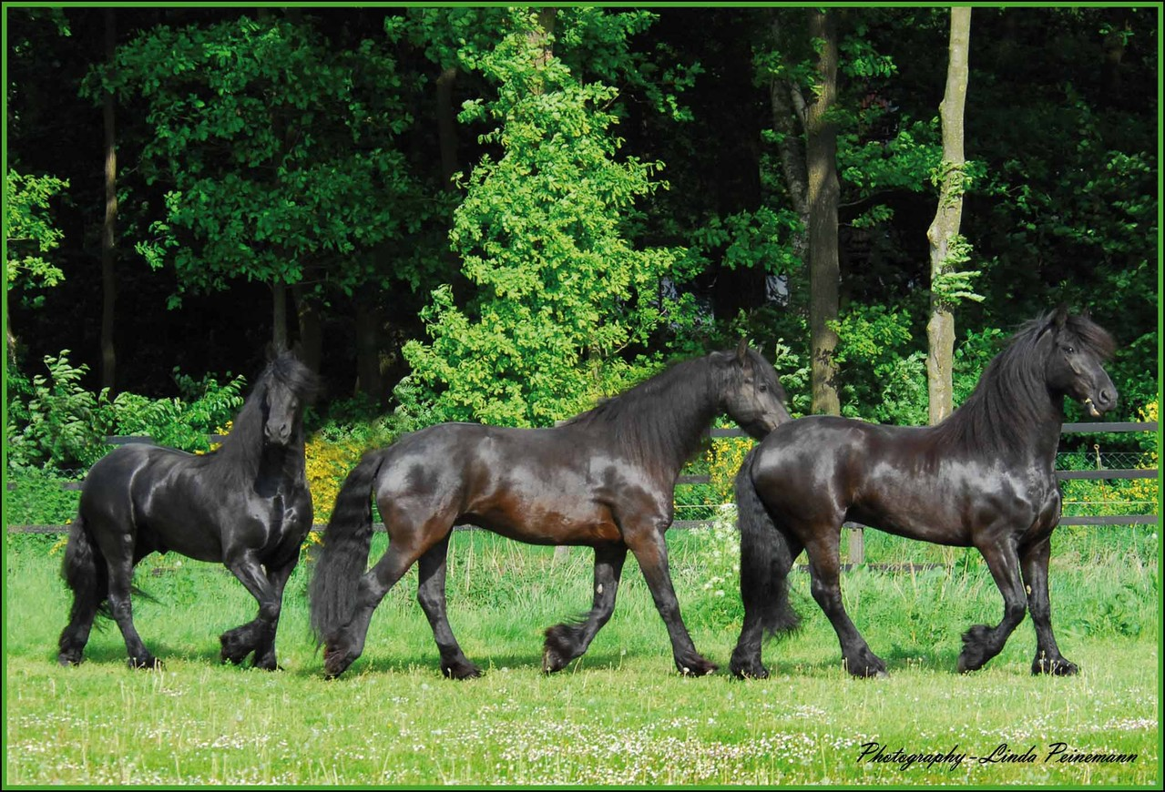 Friese - Friesian Horses