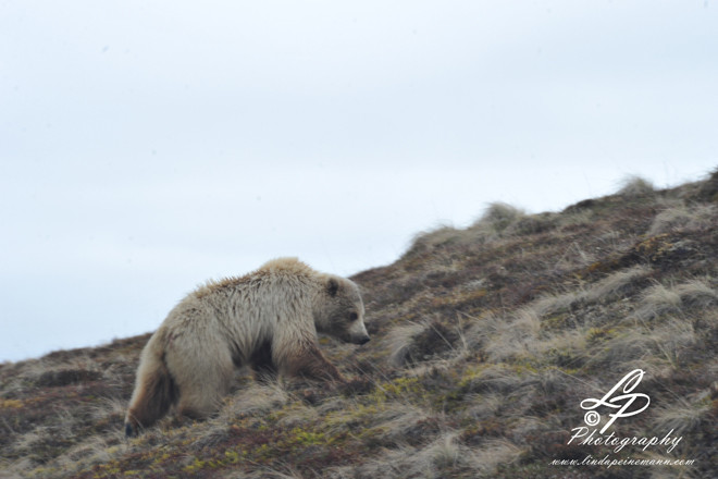 ALASKA 2012 - Grizzly Bear - Denali National Park and Preserve