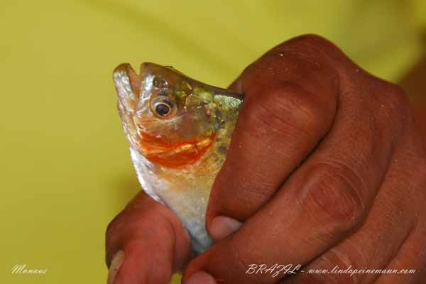 Brazil - Manaus - Lake January - Piranha