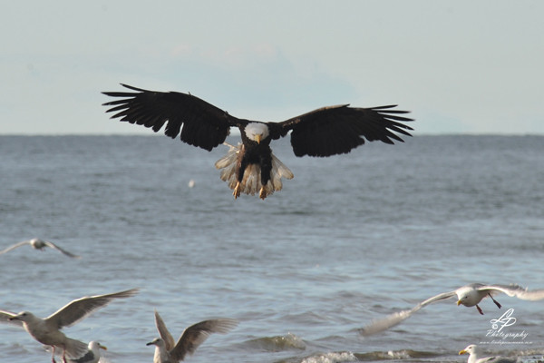 ALASKA 2012 - Bald Headed Eagle