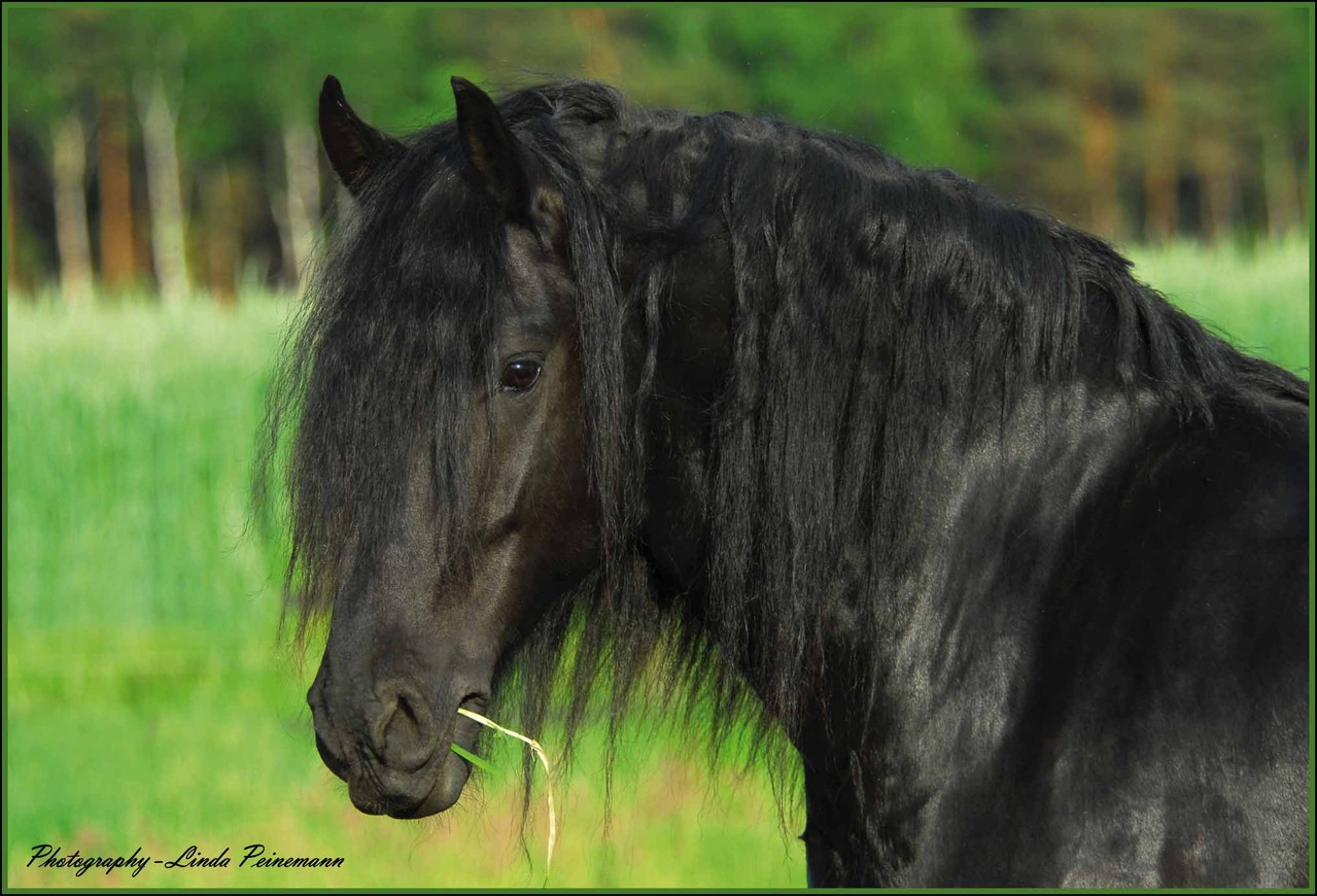 Friese - Friesian Horses