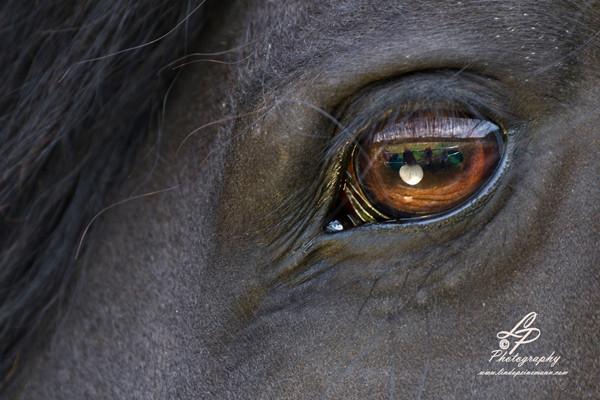 """Teil 2 - Pferde-Portraitaufnahmen - Workshop """"Pferde & Hundefotografie"""" Pferdemuseum Verden am 16.08.2014 - Fortsetzungsworkshop für Einsteiger - Leitung & Fotografie Linda Peinemann"""