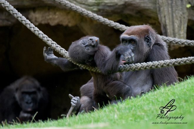 Gorillas - young gorillas at play