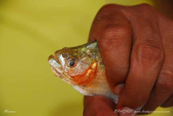 Brazil - Manaus - Piranha