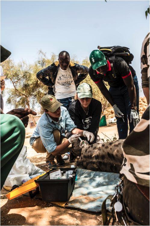 Contención química de una Hiena moteada (Crocuta crocuta) en una de las ediciones de nuestro curso en África.