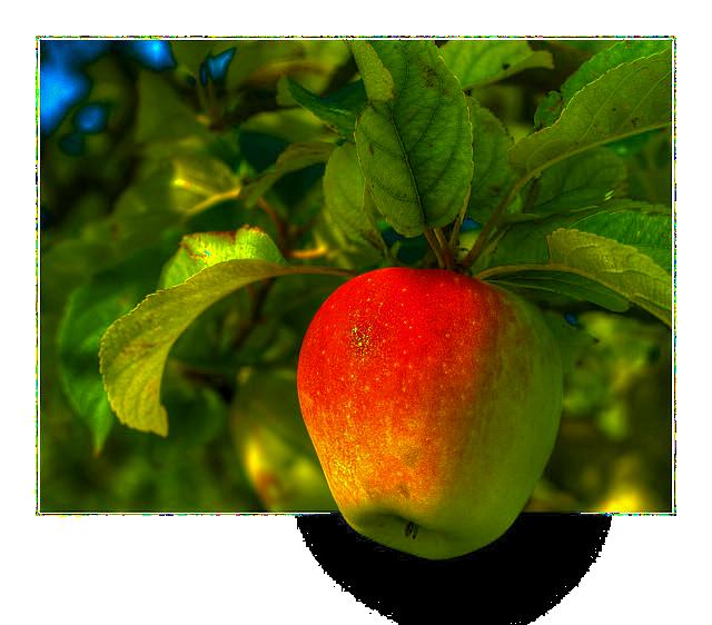 Die Apfelernte hat begonnen