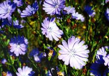 Chicory (8)