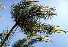 Pine (24)