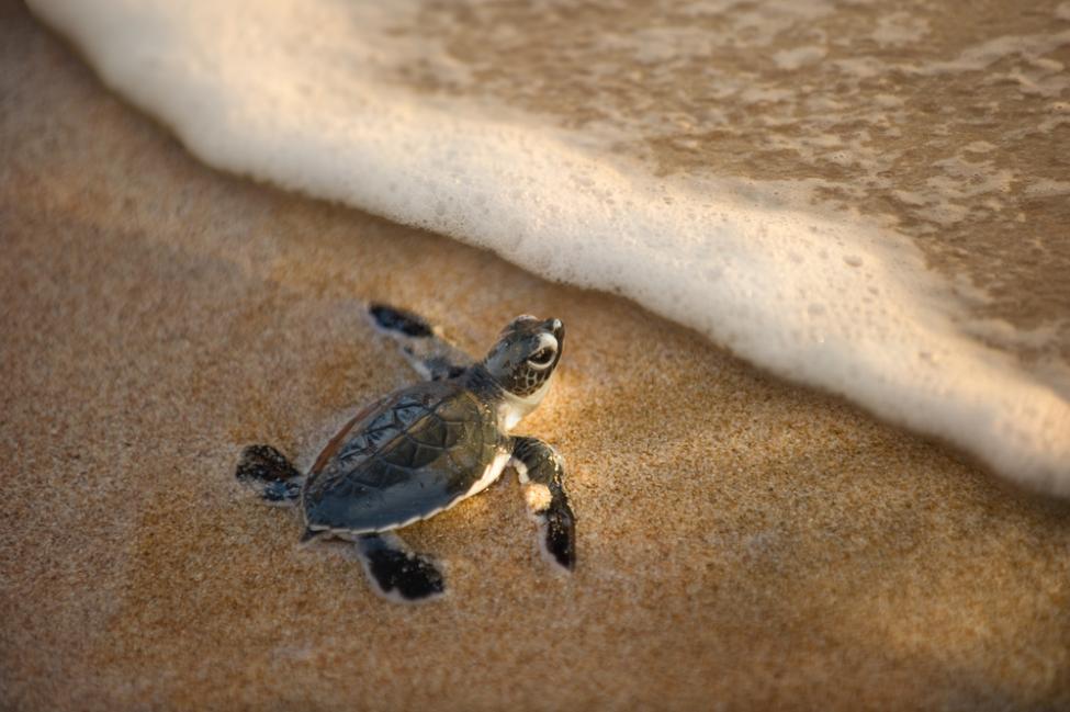 Kareta (Wasserschildkröten) in Kalo Nero