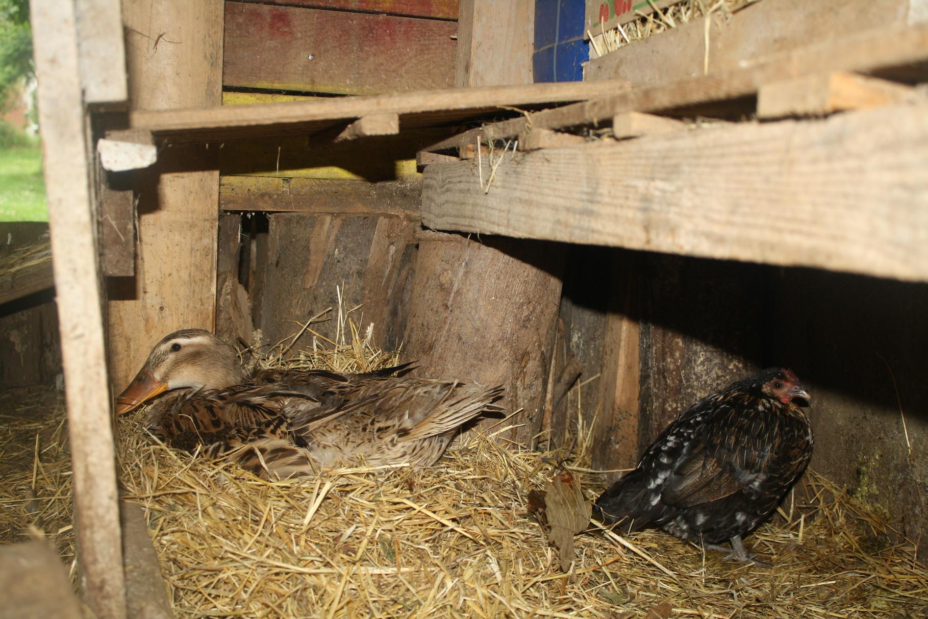 Mamá pata en su nido