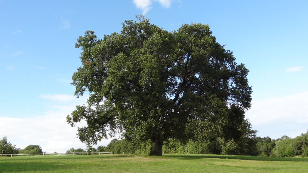 The large oak, emblem of the domain