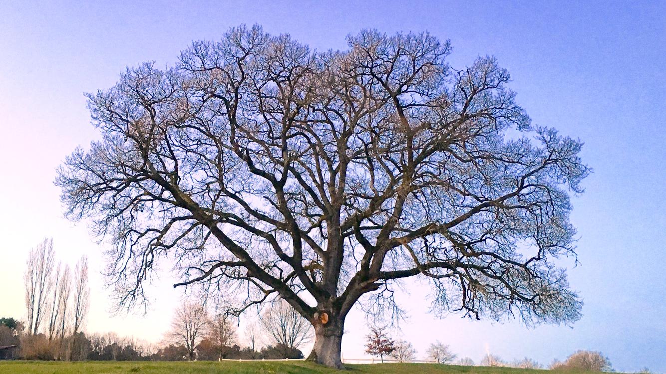 Le chêne, l'emblème du domaine