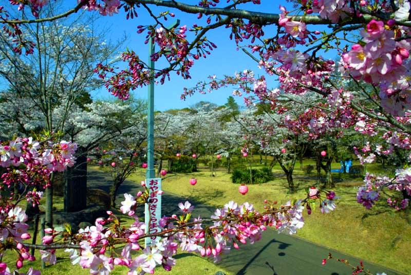 わたなべ企画(事務所・実験室)の所在地、小山市の城址公園は桜の名所です。