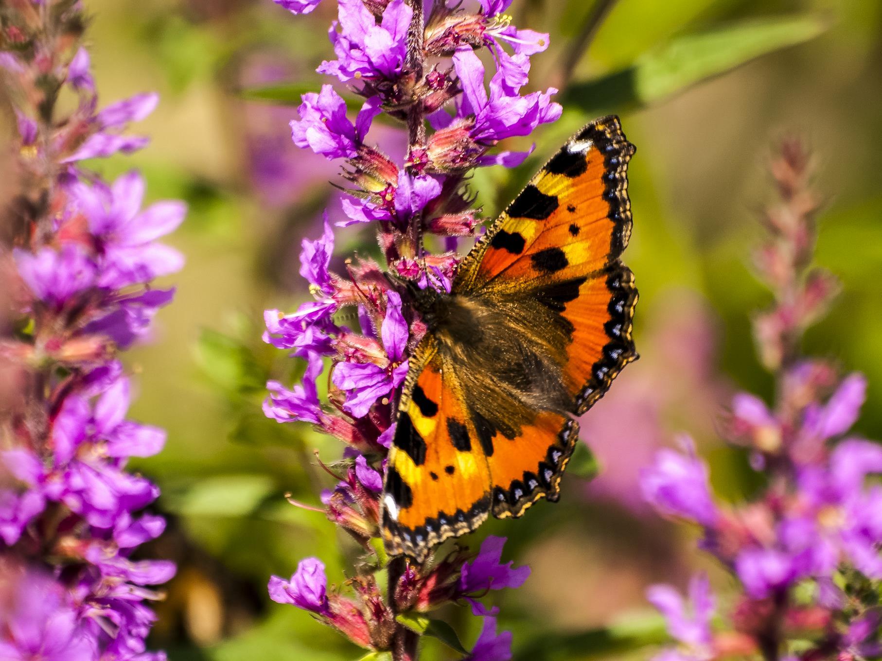 Im Sommer fliegen Schmetterlinge umher.