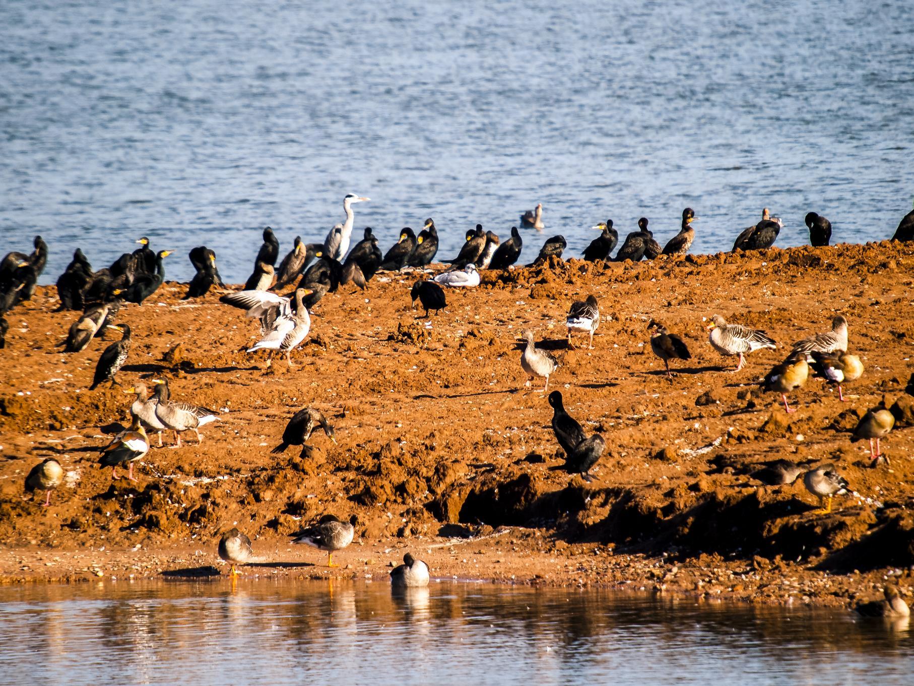 Viele Wasservögel nutzen die Teiche als Rastplatz.