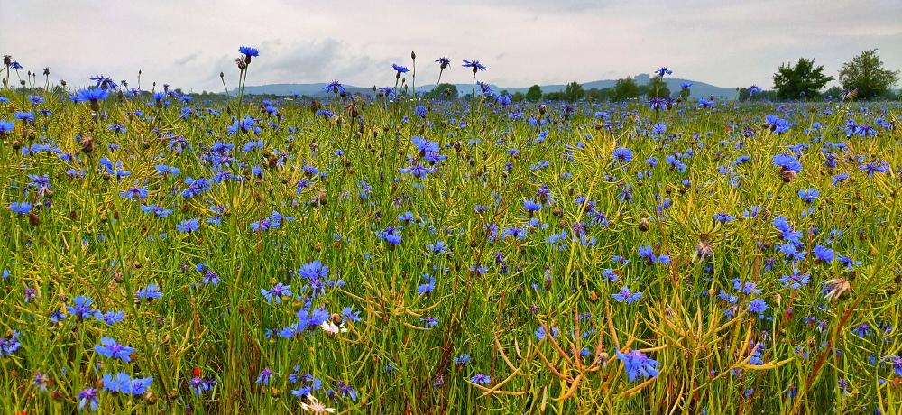 Kornblumenfeld mit Kornblumen blau und grün