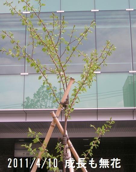 2011/4/10  2年目の春、背丈は伸び葉も出て樹の姿になってきた。